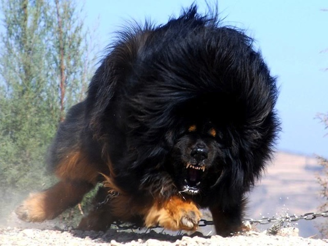 Top 10 most dangerous dog breeds in the world - Page 4 of 10 ...