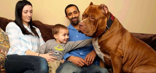 Hulk! The world's biggest Pitbull you will ever see!