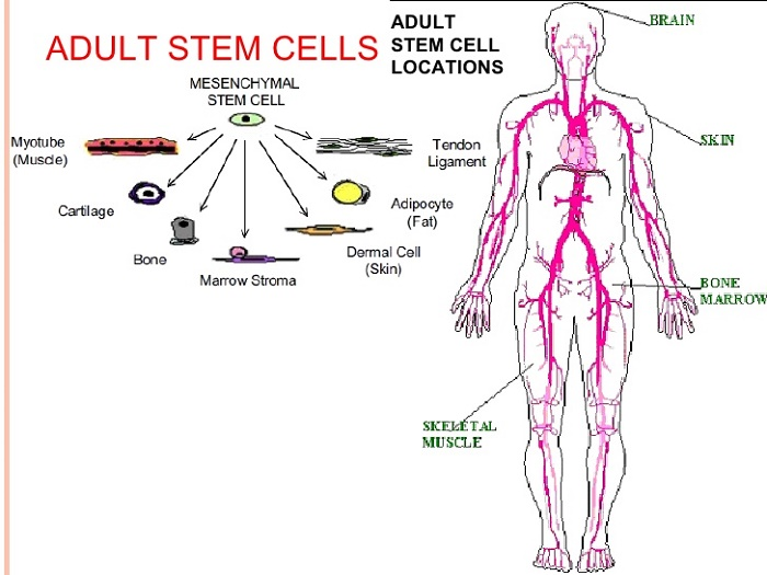 Using Adult Stem Cells 50