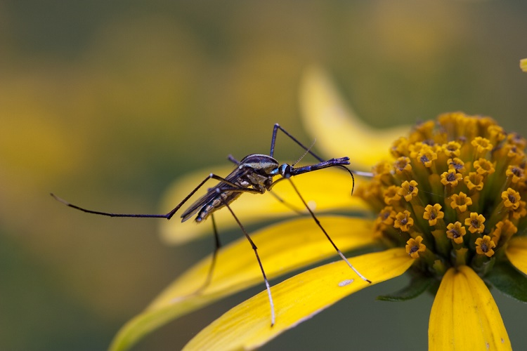 Mosquitoes Play a Secondary Role in Pollination