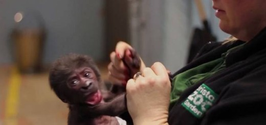 Baby gorilla born through the most critical C-section delivery