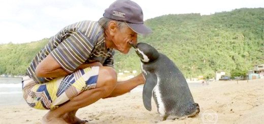 This little penguin swims 5000 miles every year to be with the man who saved Its life