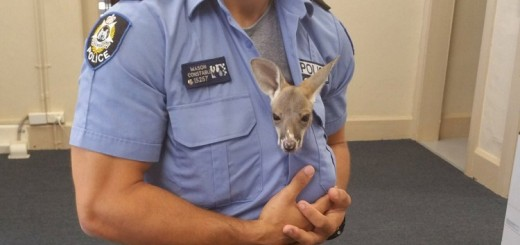 Watch how this orphaned baby kangaroo thought this cop was It's mom. It will melt your heart...