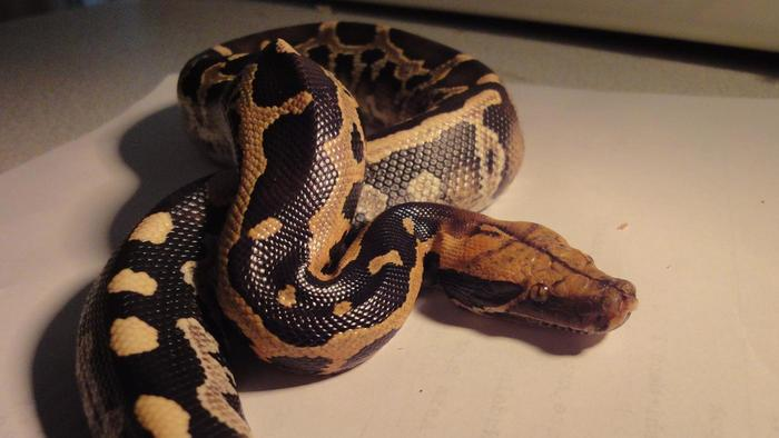 Why Did This Woman's Pet Python Suddenly Stop Eating?