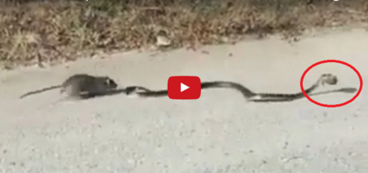 An Incredible! video of a mom rat saving her baby from a snake