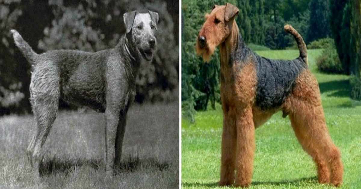 Breeds Of Dogs 100 Years Ago Dog Breed