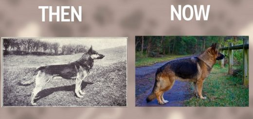 Popular Dog Breeds and their evolution from 100 years ago till today