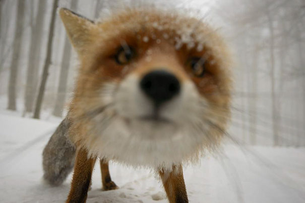 This fox close up