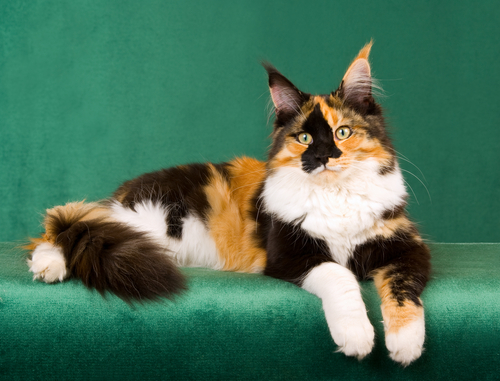 Colors of cats and their magical properties
