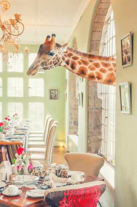 Giraffe in window by Cari Hill