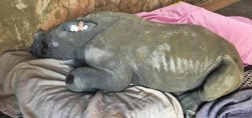 Left alone to die, this baby rhino was saved by humans and now she can't stop chasing her favorite one