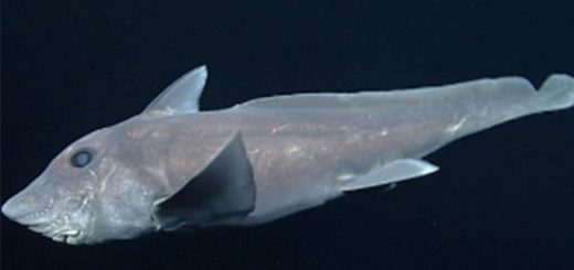 Scientists have captured the rare deep sea Ghost Shark for the first time on video