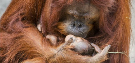Mother Orangutan Leans To Kiss Her Newborn Baby At Florida Zoo