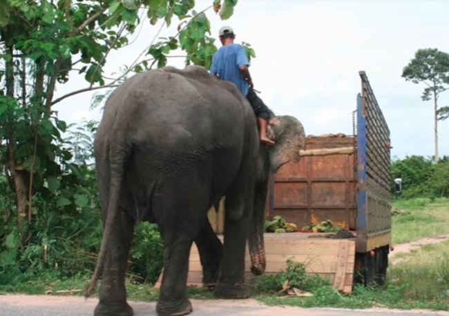 Boon Thong was able to roam freely