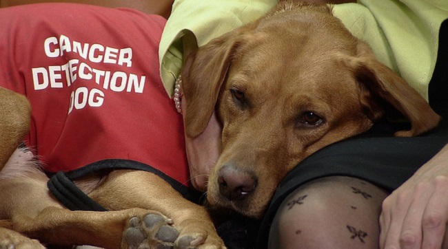 Cancer detection dogs