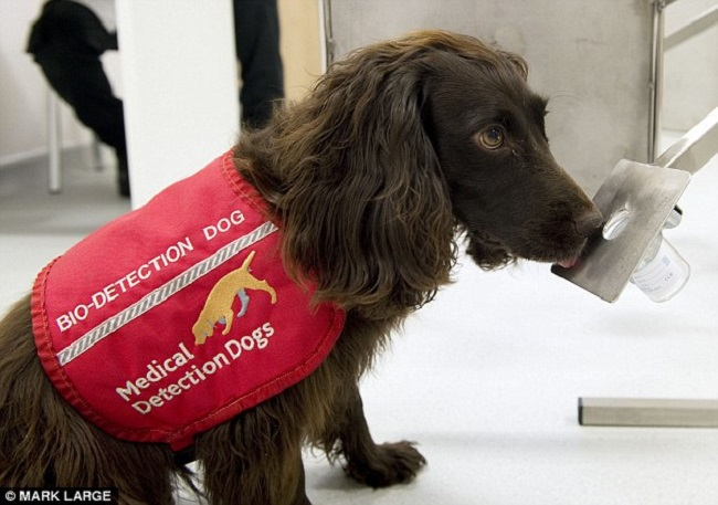 Cancer detection dogs1